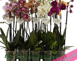 Phalaenopsis (Orchidée)
